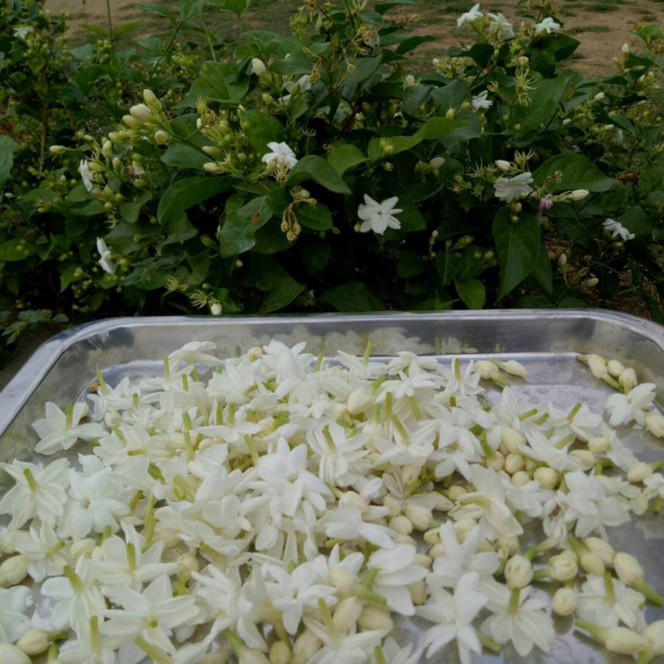 มะลิอินทรีย์ Usda Organic by Plantlove